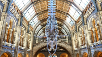 Pictured: 'Hope', the blue whale skeleton, in the Museum's Hintze Hall