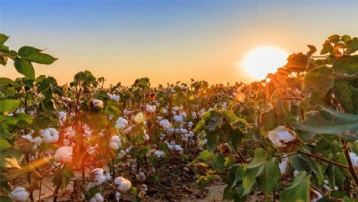 Gap targets 100% sustainably sourced cotton by 2025